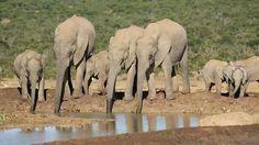 elephants drinking water - Google 検索