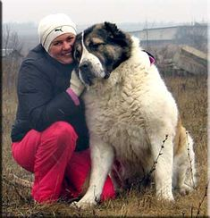 Central Asian Ovcharka - a good and loyal dog for its owner, and vicious guard dog towards any stranger!!