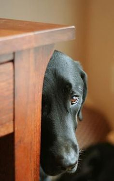 Black Labrador Retriever that's been naughty and knows it