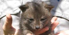 Ecco come la volpe nana è stata salvata dall'estinzione