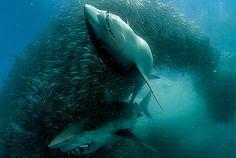 #Sharks Feeding in a #School of #Fish