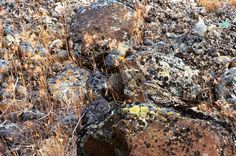 (Pictured: A Nighthawk resting on rocks where it blends into its surroundings in eastern Washington.)