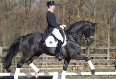 French Kiss - Baden Wurttemberger warmblood stallion