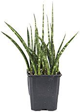 Cylindrical Snake Plant has upright, tubular leaves that make a striking house plant. Find out how to grow, water, fertilize and propagate this succulent plant.