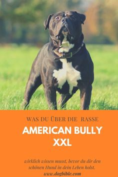 Großer American Bully Hund. Sogenannter American Bully XXL. American Bully, American Staffordshire Terrier, Dogs, Animals, Guard Dog, Popular Dog Breeds, Companion Dog, Small Dogs, Animales