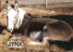 Jynx is an adoptable Donkey Donkey in Murray, KY. Spotted donkey - Intact Male - approx. 4 years old If you can help these animals by providing a loving home and the ongoing nutritional and veterinary...