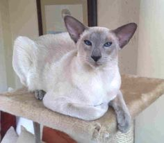 Siamese Blue Point