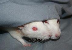 Pink Eyes Freak You Out? Rat Care, Albino, Pink Eyes, Cuddling, Bugs, Animals, Physical Intimacy, Animales, Animaux