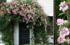 Калистегия: выращивание, уход Три года назад я приобрела саженец калистегии. Это многолетняя травянистая лиана, которая покорила меня своей неприхотливостью в уходе и очень красивым цветением. Если …