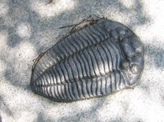The Trilobite at the Wren's Nest monument (Dudley, West Midlands).