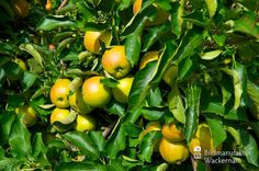 awesome Apfelplantage Königreich Numero 11,  #Landleben
