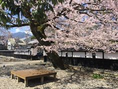 Cherry Blossom    Art and Natural History Museum, Ilda, Nagano