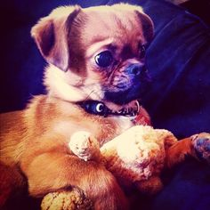 A CHUG. CHIHUAHUA PUG. IS THIS NOT THE CUTEST THING EVER!