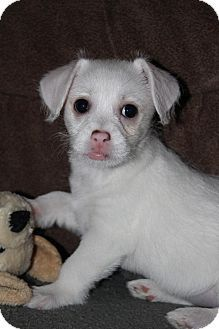 Grand Rapids, MI - Chihuahua/Rat Terrier Mix. Meet Lily, a puppy for adoption. http://www.adoptapet.com/pet/14851761-grand-rapids-michigan-chihuahua-mix