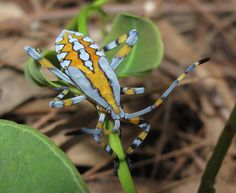 Coreidae, Amorbus sp by Daniel O'Brien, via Flickr