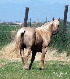 LOTSA JETTING PEP - AQHA Palomino Stallion
