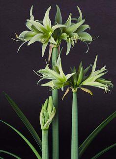 Amaryllis cybister Evergreen
