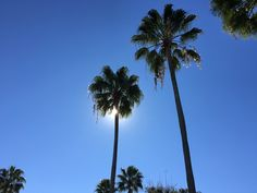 Blue sky and Palm trees in Florida
