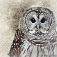 Portrait of a BARRED OWL no2   5x5 print by LANDofLIV on Etsy, $15.00