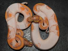 Orange Dream Coral Glow Pied and Orange Dream Yellow Belly Coral Glow Pied ball pythons. Pretty Snakes, Cool Snakes, Beautiful Snakes, Animals Beautiful, Python Royal, Cute Reptiles, Reptiles And Amphibians, Snake Breeds, Snake Photos