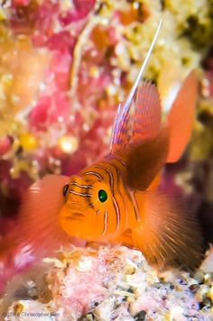 Ribbon Reef Goby - by Christopher Pen #Goby