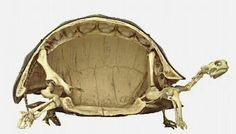 Skelton of a turtle