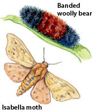 """Banded woolly bear: Cool fall temperatures bring out fuzzy little caterpillars called """"woolly bears,"""" or """"woolly worms. Wooly Bear Caterpillar, Caterpillar Art, Stem Science, Science Activities, Earwigs, Tiger Moth, Winter Hacks, Fuzzy Wuzzy, Little Critter"""