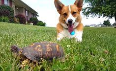 corgi turtle