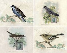 Vintage Bird Art Prints - free downloadable vintage ornithology prints! Would be pretty framed as wall art or printed smaller as special note cards or stationery. Love them!
