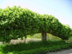Формирование плодового дерева в форме пальметты ~ Плодовые деревья