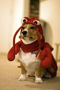 Not a fan of dressing up dogs but this is so cute.  Clearly is demoralized and feeling humiliated