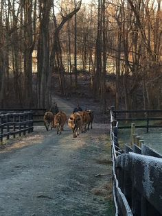 Bringing The Cows Home