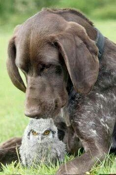 Dog giving owl kisses