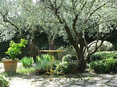 Fruitless olive trees in the landscape are a possible test question on the California Supplemental Exam (CSE) for landscape architects