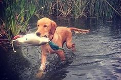 """Taking your retriever pup out in a boat to the middle of a lake and throwing her overboard is not a proper water introduction"" hahaha Retrievers: Off to a Good Start 5 Tips to introduce a young retriever to waterfowling basics Waterfowl Hunting, Duck Hunting, Hunting Dogs, Gun Dog Training, Training Tips, Dog Care, Mans Best Friend, Dog Mom, Puppies"