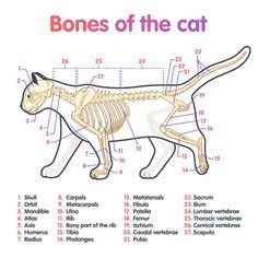 Dog Anatomy, Animal Anatomy, Veterinary Medicine, Cat Medicine, Animal Medicine, Vet Tech Student, Vet Assistant, Vet Med, Animal Science