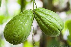 Légumes exotiques : les conseils pour cultiver dans votre jardin chayotte, poire de terre, arachide, oca et okra.