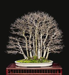 Bonsai through the eyes of someone who possesses the patience and skill to take photographs worthy of the subject | Bonsai Bark