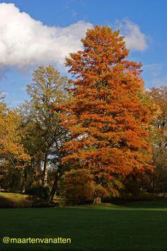 Mooie Taxodium ( moerascypres) in het herfstzonnetje. Arboretum Wespelare.