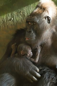 Lincoln Park Zoo. How adorable are this gorillas?