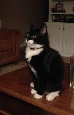 Ollie, my Tuxedo cat. | Tuxedo Cats | Pinterest - Thiswaycome.com