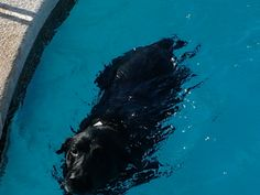 Congo going for a swim at my house. Lab Heaven!