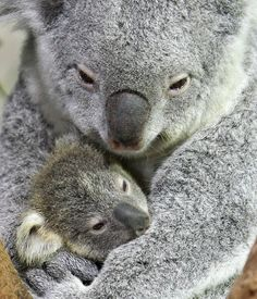Marsupial Koalas - a mother hugging her baby