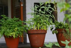 Tulehdukset häviävät yrteillä – yksi on ylitse muiden Planter Pots, Healthy Living, Health Fitness, Food And Drink, Garden, Tuli, Therapy, Grasses, Garten