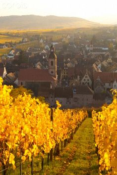 Autumn in Alsace , Its harvest time, time for la vend angle, to transform the grapes of the vineyards into wine. La Route du Vin in Alsace is a spectacular drive, with tasting stops along the way, of course.