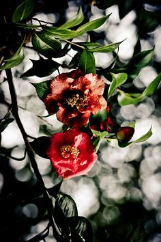 Japanese camellia, Tsubaki 椿