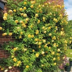 Graham Thomas Climbing - David Austin Roses -- leaning toward this one based on description -- unusual pure yellow -- world's favorite rose award -- vigorous.