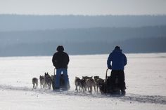 Drive your own team of huskies, Active Lapland