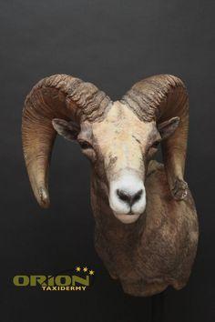Sheep, Goats, Exotic, Animals, Taxidermy, Animales, Animaux, Animal, Animais