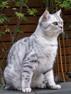 Buy british shorthair london